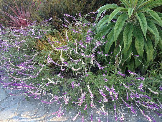 Agate Cove Inn Hotel: Mexican Bush Sage flourishes!