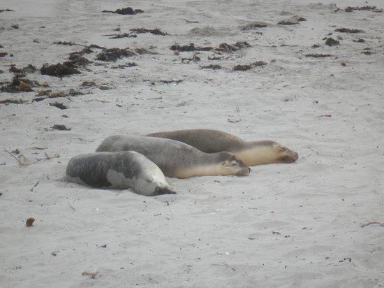 Exceptional Kangaroo Island : Sleeping seals on the sand
