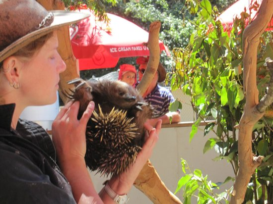 Shoalhaven Zoo : The echidna at the Furry Friends talk.