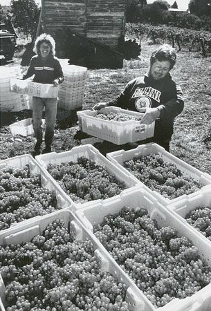 Carlson Vineyards Winery & Tasting Room: Carlson Vineyards harvest around 1988