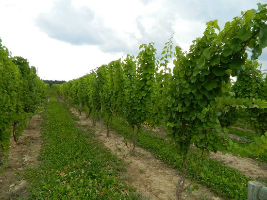 Three Brothers Wineries and Estates: Looking down the vineyard