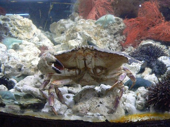 EcoWorld Picton Aquarium : A few crabs in a tank, a typical sized individual