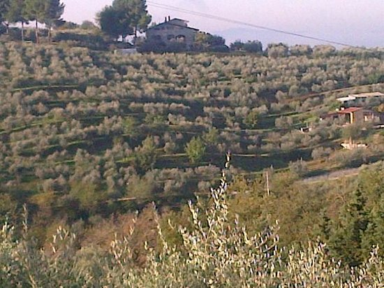 Agriturismo La Montagnola: Rows and rows of olive trees