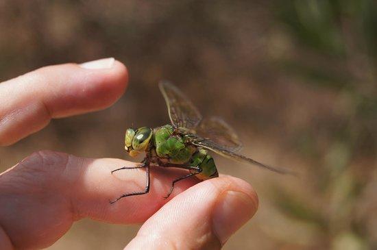 S'olia: Dragonfly