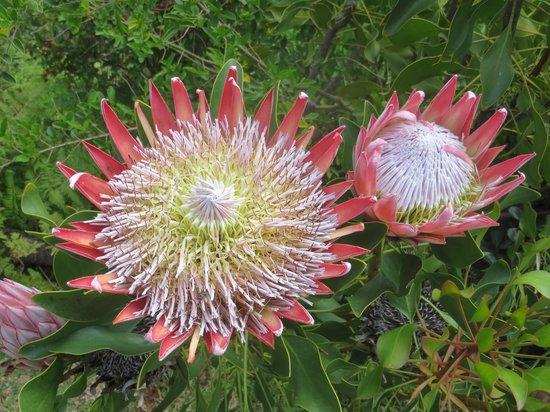 Klein Bosheuwel Guest House: Glorious Proteas