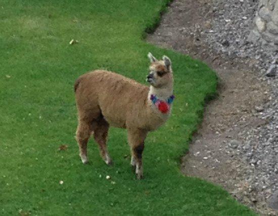 Casa Andina Premium Valle Sagrado: How they mowed the grass