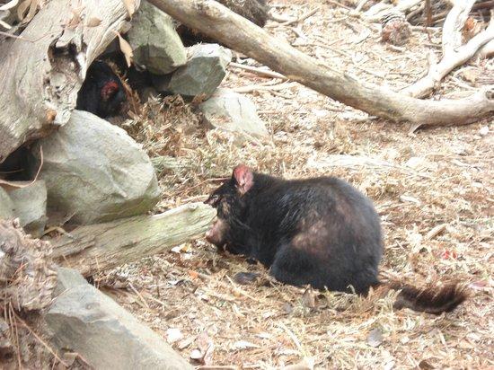 Tasmanian Devil Unzoo : Real Tasmanian Devil