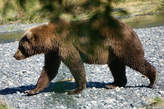 Kodiak Treks: So close!