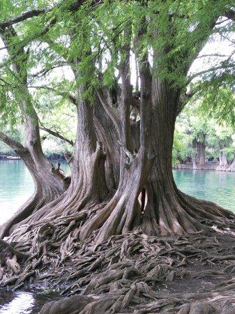 Lake Camecuaro: Algunos de los árboles que crecen dentro del lago.
