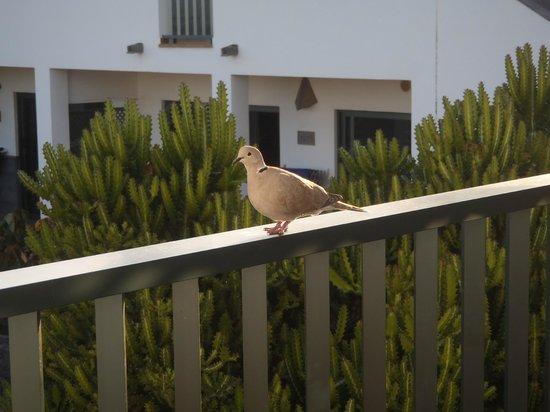 Las Marismas de Corralejo: balcony collared dove