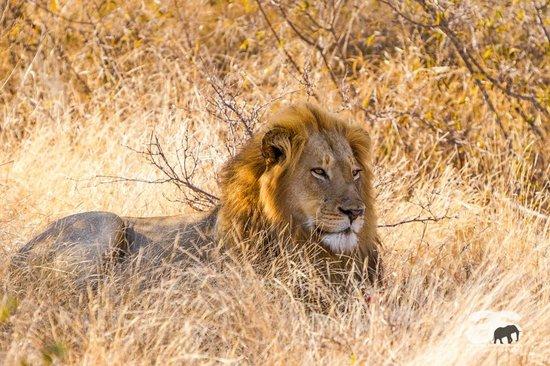 Motswari Private Game Reserve: African Lion, young male resting, Motswari