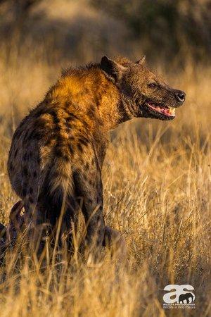 Motswari Private Game Reserve: Spotted Hyena with buffalo kill, Motswari