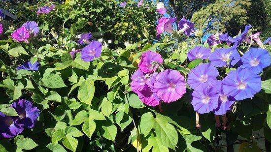 La Belle Epoque: Our beautiful Morning Glories