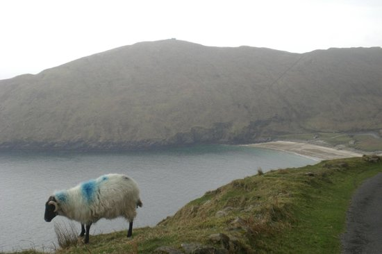 Keem Bay: sheep and beach