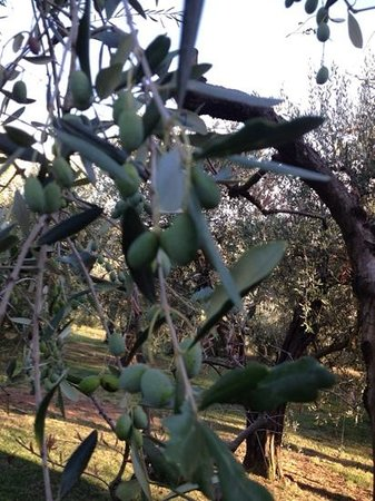 Agriturismo Vecchio Olivo: Olive tree in th grove