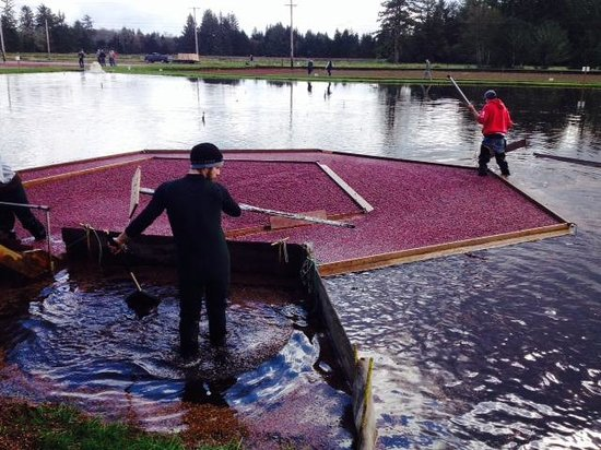 Cranberry Museum: One of the harvesting methods