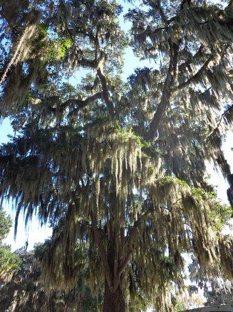 Bulow RV Resort: Trees Draped in Spanish Moss