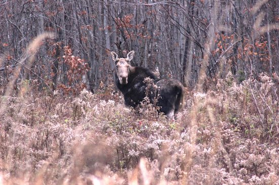Spencer Pond Camps: Moose nearby the camps