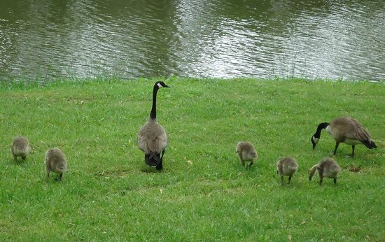 Bowling Green KOA: Geese near our campsite