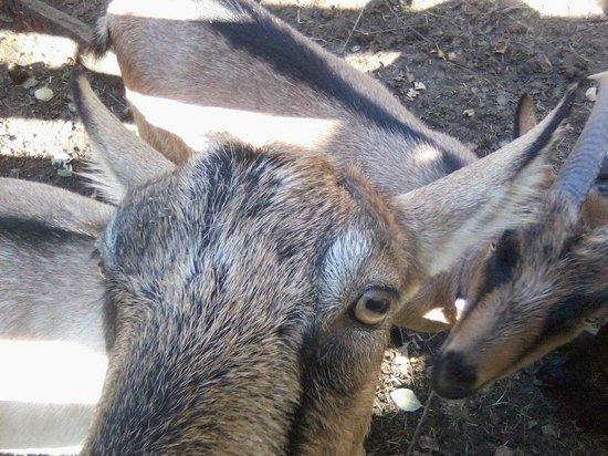 Pebble Cove Farm: Friendly goat