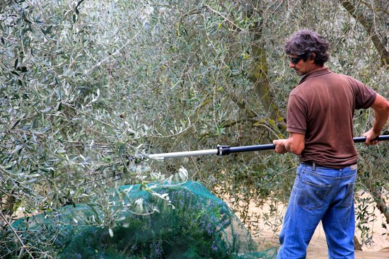 Villa Cicolina: Harvesting of Olives