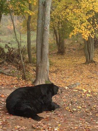Oswald's Bear Ranch : Big guy muching