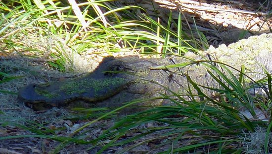 The Lodge on Little St. Simons Island: Smiling Alligator