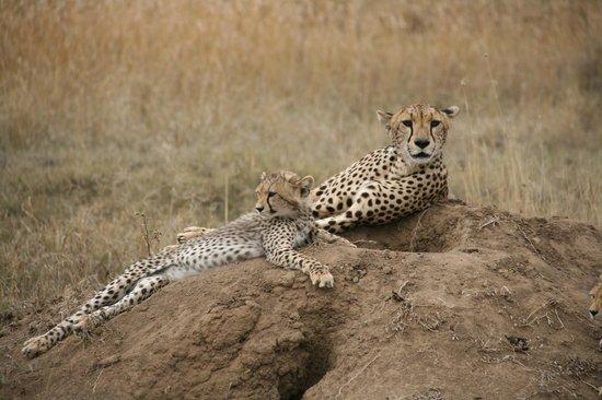 Ngorongoro Conservation Area, Tanzania: Cheetah and her cub