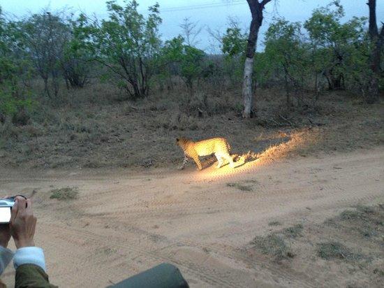 Ulusaba Rock Lodge: Safari - Leopard