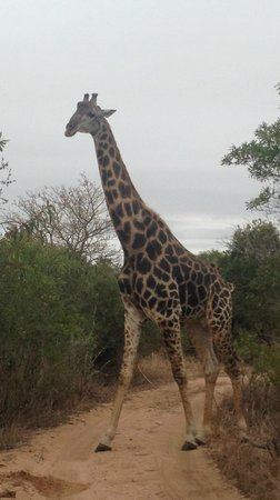 Ulusaba Rock Lodge: Safari - Giraffe