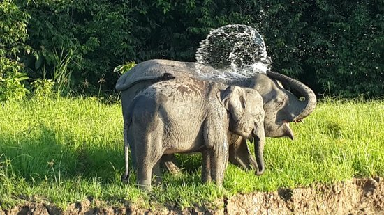 Sukau RB Lodge: Pygmy Elephants having fun!
