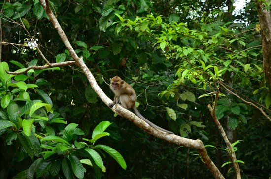 Sukau RB Lodge: Monkeys around