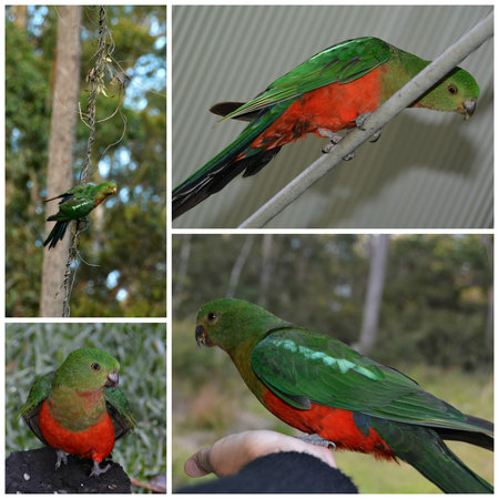 The Bower at Broulee: King Parrots visiting the Red Bower