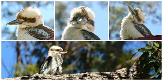 The Bower at Broulee: Laughing Kookaburras visit the Red Bower