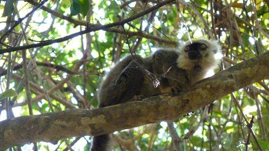Mada Mirendra Day Tours : lemure