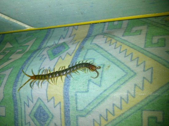 Dodo Spot Lodge: Insect from shower drain