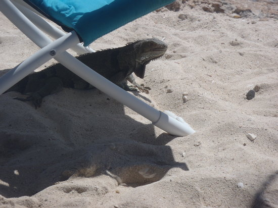 Boca Catalina: Iguana getting shade under my chair