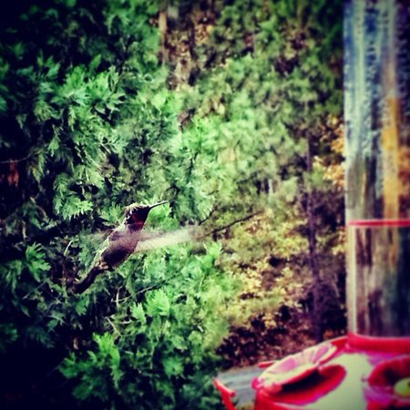 Blackberry Inn at Yosemite: A hummingbird (one of many) at a feeder on the porch