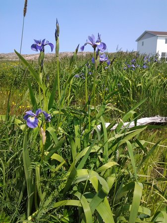 Fogo Island Inn: iris, Joe Batts Arm