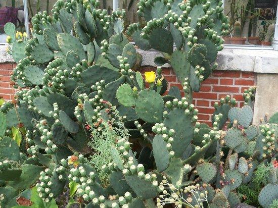 Jardin Massey : cactus devant la serre
