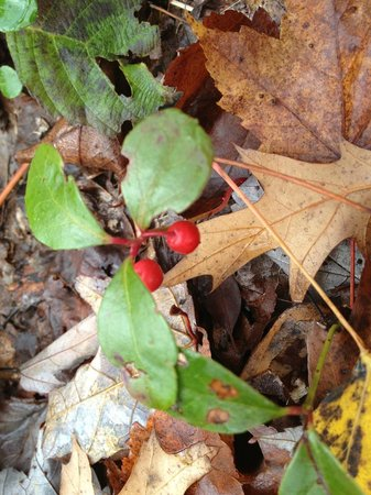 Holiday Acres Resort : Fall walks in the woods yield tasty wintergreen berries.