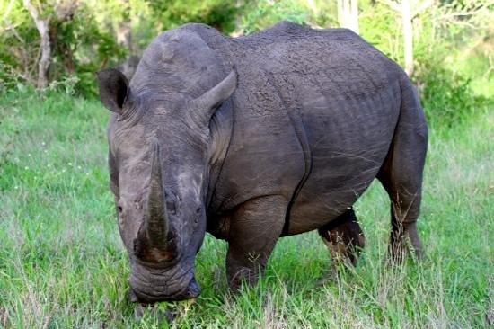 andBeyond Ngala Safari Lodge: Rhino checking us out