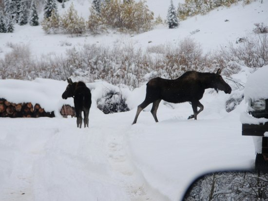 Mild to Wild Rafting and Jeep Trail Tours : Moose