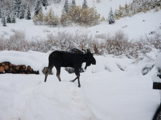 Mild to Wild Rafting and Jeep Trail Tours : Moose!!