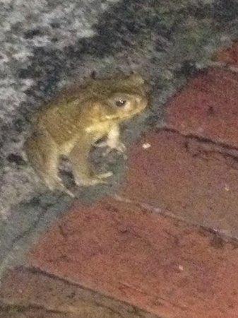 Windjammer Landing Villa Beach Resort: Never seen a frog this big!