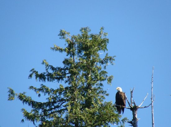 Clover Pass Resort : Eagles galore!