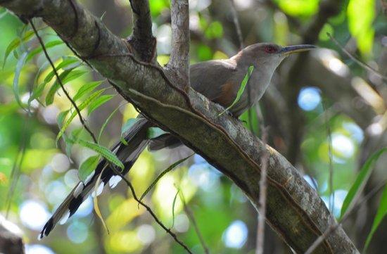 Rainforest Inn: Puerto Rican Lizard Cuckoo