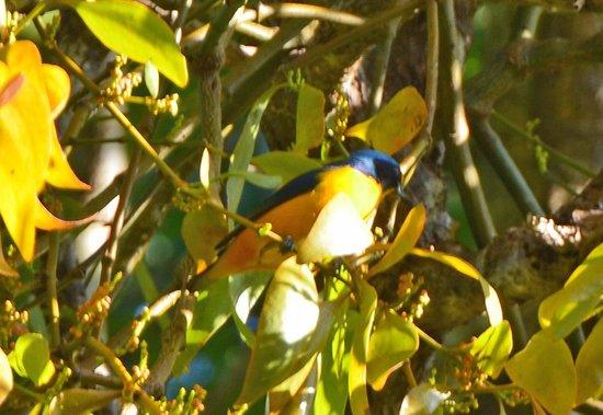 Rainforest Inn: Blue-hooded Euphonia
