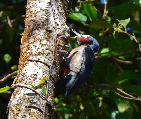 Rainforest Inn: Puerto Rican Woodpecker