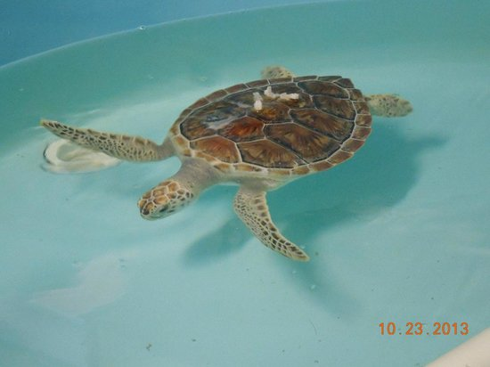 Sea Turtle, Inc.: This is Clover ~ a rescued sea turtle